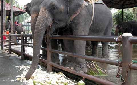 Запрет на кормление слонов в Таиланде